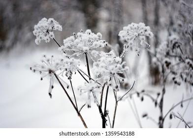 Frozen Bush in winter