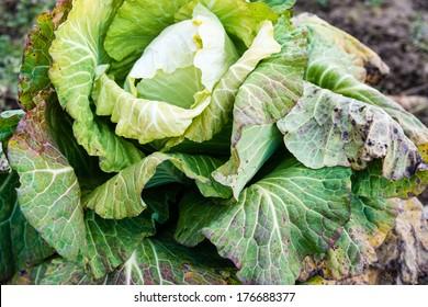 frozen cabbage left on a field in winter