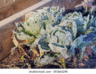 Frozen Cabbages Vegetable Garden Winter. Raised Beds Cold Sunlight