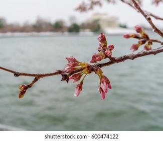 Frozen cherry blossom buds in Washington, DC