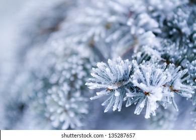 Frozen coniferous branches in white winter