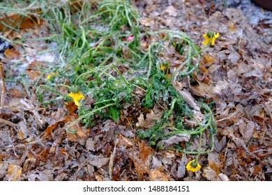Frozen dead plant autumn freeze
