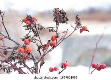 Frozen and dried red fruits in winter scenry