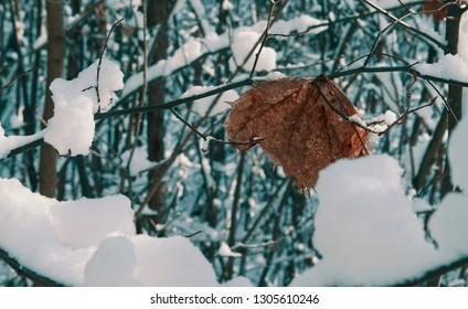 Frozen dry leaf on a branch in winter