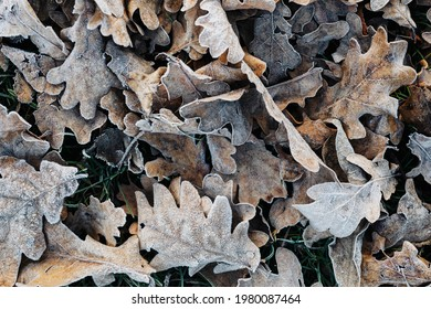 Frozen dry oak leaves on the ground
