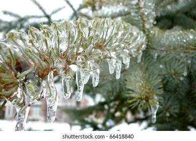 Frozen Evergreen Tree Needles