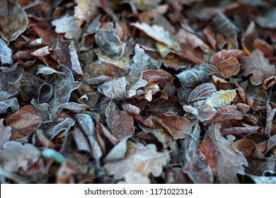 Frozen fallen leaves with mild focus.
