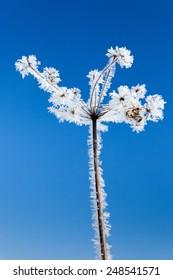 Frozen flower on blue sky
