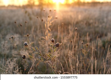 Frozen flowers of Greater Knapweed (Centaurea scabiosa) in the field in golden sunlight at dawn, cold autumn background