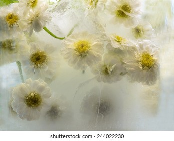 Frozen  fresh beautiful   flower of   chrysanthemum  and air bubbles in the ice  cube