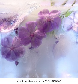 Frozen  fresh beautiful   flower of     phlox   and air bubbles in the ice  cube