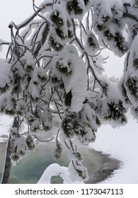 Frozen fur tree encrusted with snow - Yellowstone National Park, USA