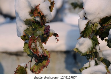 Frozen grapes in the garden in Bulgaria