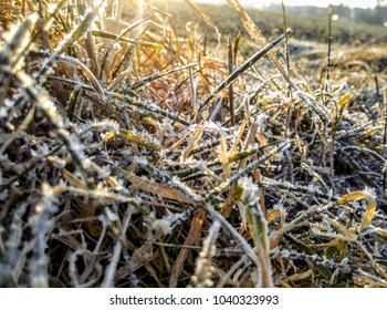 Frozen grass in early morning sun rays. Closeup of frost on leaves. Cold winter season scenery with sunrise and ice. Snowflakes and icy plants. Chilly weather with low temperature.