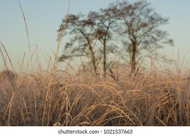 Frozen grass at sunrise