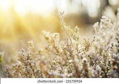 Frozen heather flower, floral vintage winter  background, macro image