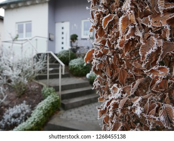 frozen hedge covered by hoarfrost. Stairs to the front door in the background. box trees purl the path.
