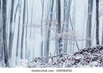 Frozen ice forest. Many Beech trees are frozen to death in the Winter