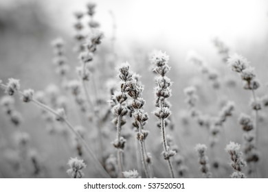 Frozen lavender in black and white