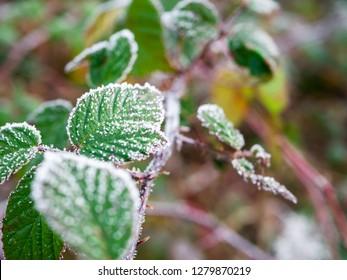 Frozen Leaves with hoar frost on top in winter landscape in Germany
