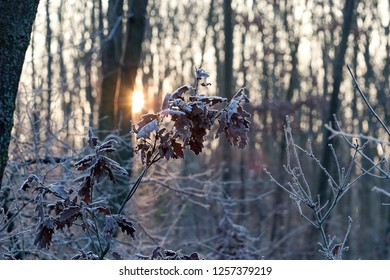 frozen leaves at sunrise