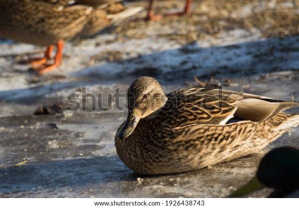frozen-mallard-ducks-curling-ball-600w-1