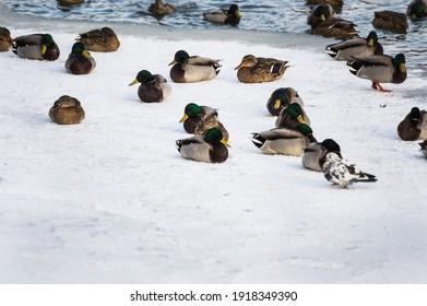 frozen-mallard-ducks-escape-cold-260nw-1