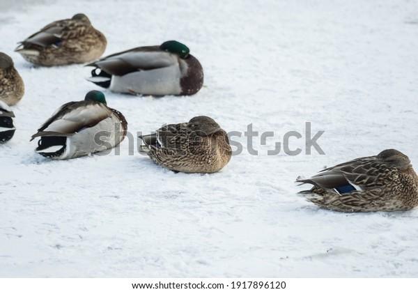 frozen-mallard-ducks-escape-cold-600w-19
