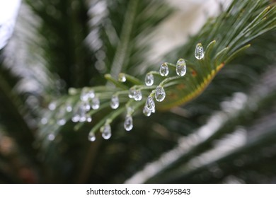 Frozen Palm Fronds