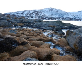 Frozen patches of Norwegian fjord grass, Trump Hair, in Ersfjord, Troms County, Norway