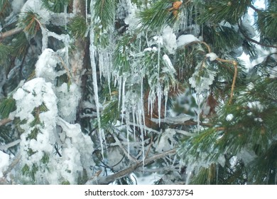 Frozen pine branches covered with flowing icicles in winter. The icicles and the pine cones and frozen branches. Snowy pine branch with icicles. Russian Winter