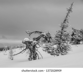 Frozen pine tree with an appearance of a wooden alien and a snowy long spruce tree in the Finnish Lapland on a fell after a snow storm in February 2019