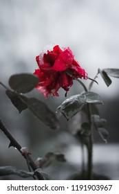 Frozen pink rose