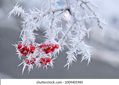 Frozen red berries on rowen tree covered with frost. Winter or Christmas image. Montana. Winter in  Idaho. United States.