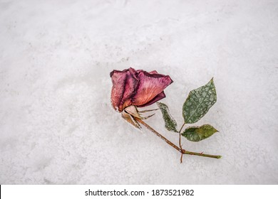 Frozen rose in the snow in nature.