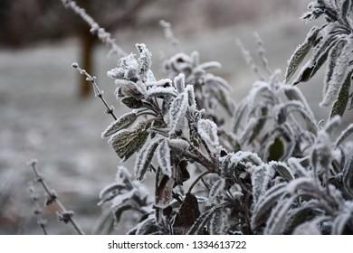 Frozen sage 🌿