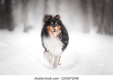 Frozen sheltie dog standing in snow in park with one rise paw. side view with blurred background