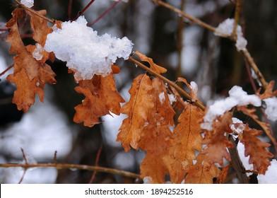 Frozen snow-covered oak leaves in winter
