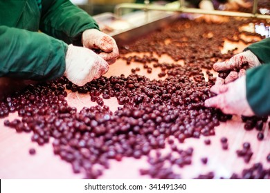 frozen sour cherries in sorting and processing machine