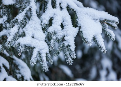 Frozen spruce tree in forest at winter
