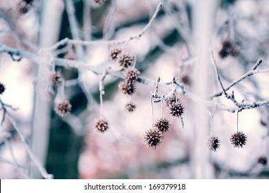 Frozen Sweet Gums