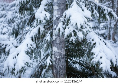 Frozen tree in forest at winter
