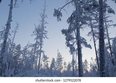 Frozen tree trunks, pine trunks and fir trees covered with snow in the forests of Yakutia, a sunny winter day in Siberia in northern Russia, the harsh nature of the north in the zone of absolute cold