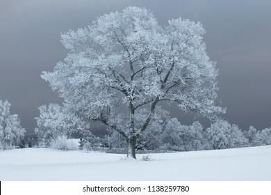 Frozen tree in winter gray landscape in Norway