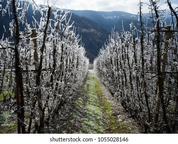 Frozen trees despite first spring sun in Apple Orchard, South Tyrol