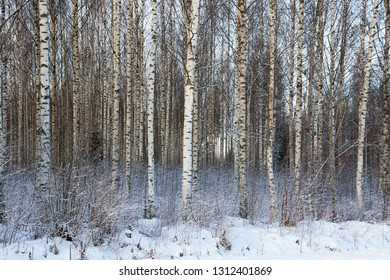 Frozen trees in the finnish forest in the winter. White snow covering the trees. Arctic nature in very cold weather in Finland.