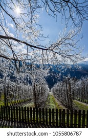 Frozen trees under first spring sun in Apple Orchard, South Tyrol