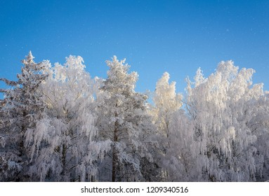 frozen white forest trees in clear and cold winter day