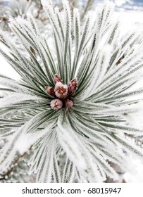 Frozen Winter Conifer with mixed focus