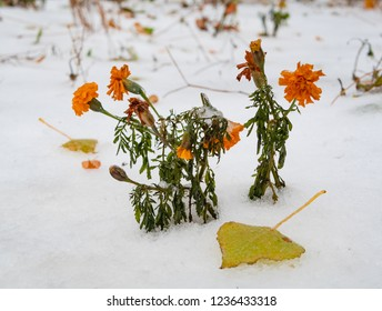 frozen yellow red carnations covered with snow. winter came suddenly. fast weather climate change